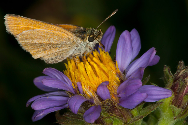 Folded wing moth on Rocky Mountain Aster, Targhee Forest, July 31, 2012. Idaho.