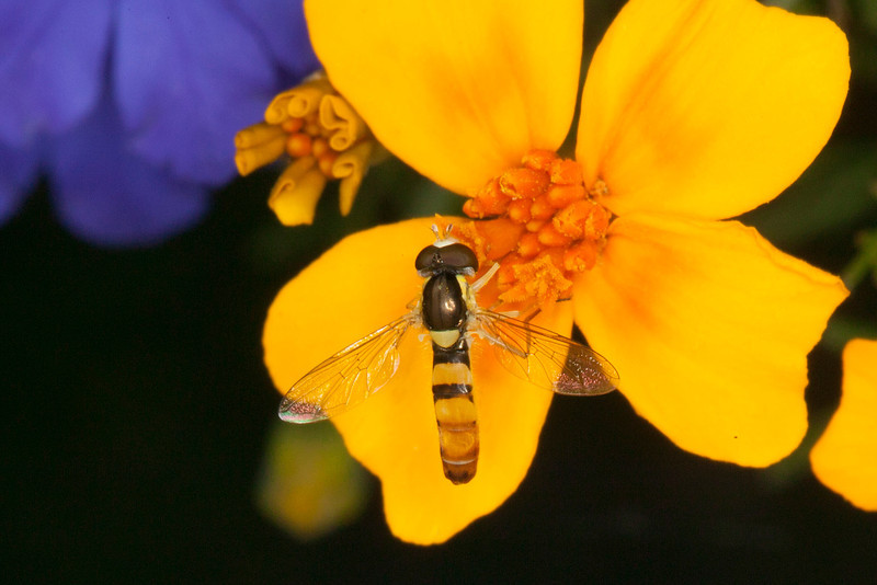 This Hover Fly was hanging around RedRock RV Park on Sep 22, 2012. Idaho.