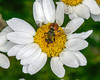 Unknown fly on daisy-like flower at RedRock RV Park. It has a orange body with round spots, not unlike a ladybug. Sep 22, 2012. Idaho.