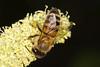 Pollen Ball on Bee
