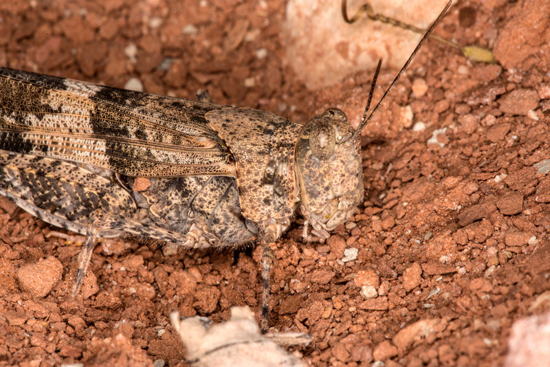 Pallid-winged Grasshopper (Trimerotropis pallidipennis) found on trail above Kanab Utah. April 2013