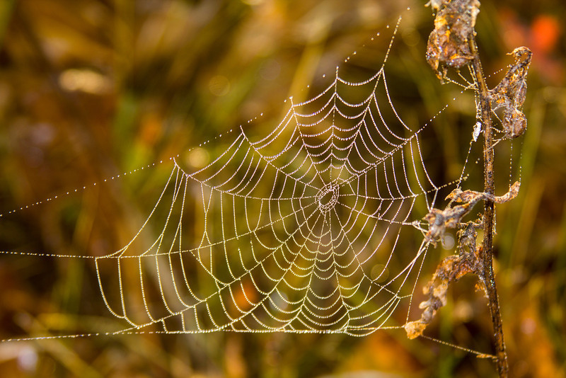 Spider web in meadow along Red Rock Road, Island Park, Idaho, after rain. Sep 2, 2012