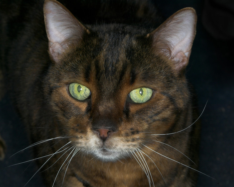 This is Bear, a Bengal cat.  One of five cats that is own by own friend John and Georgianna Shepard.  Idaho, 2007.