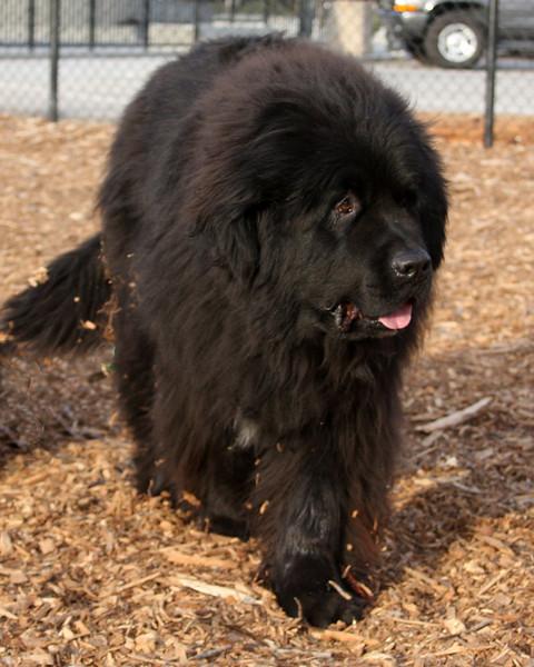 Newfoundler in Felton, CA. or is it a black bear?