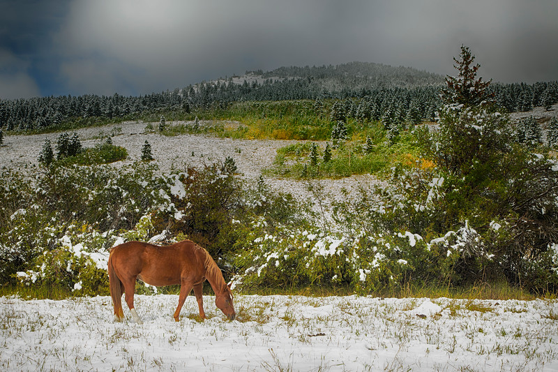 Horse grazing after snow