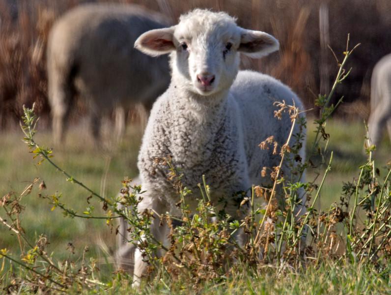 Lamb in Isleton, CA