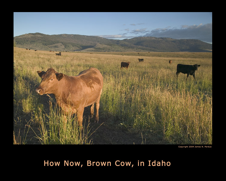 Early morning sun on cows in Idaho pasture.
