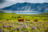Cows and Wildflowers, Idaho