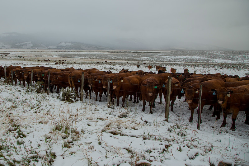 Cows huddled against cold wind
