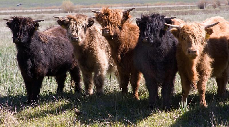 Scottish Highlander Cows in Centennial Valley, Montana. June 2008.