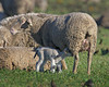 Lamb and mother sheep. Dec 12, 2012. Near Rio Vista, CA.