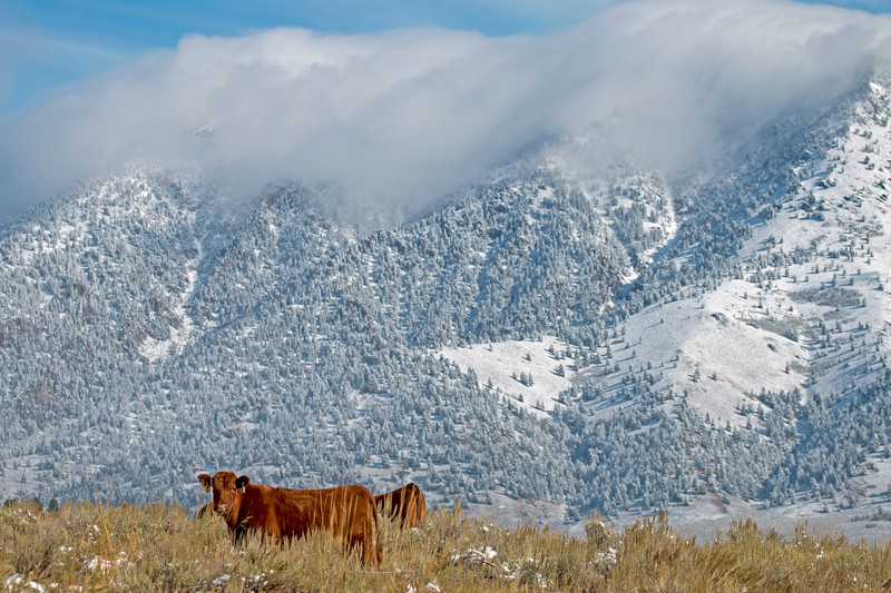 Cows and Black Mountain, Idaho