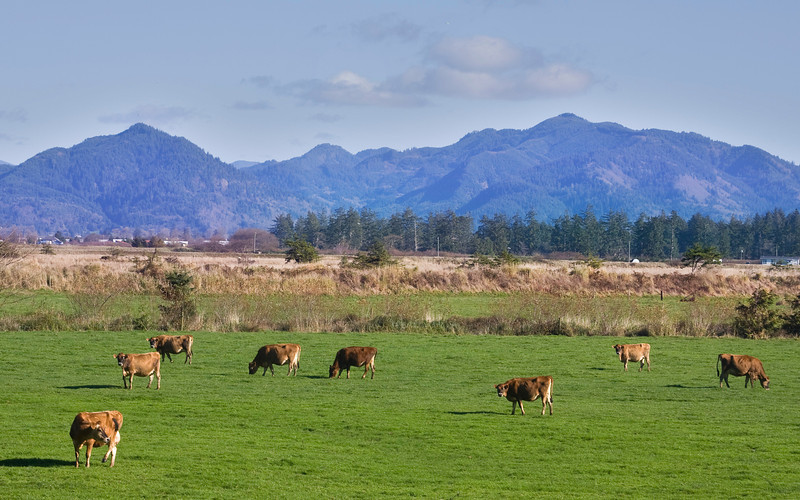 Pasture near Tillamook, Oregon with Jersey Cows. Nov 2009