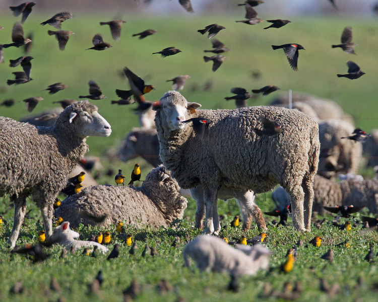 Thousands of blackbirds, including yellow head, red-winged and brewer's all feed along with sheep in this pasture south of Rio Vista, CA.Dec 12, 2012