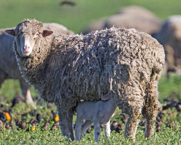 Lamb and mother sheep. Dec 12, 2012. Near Rio Vista, CA.