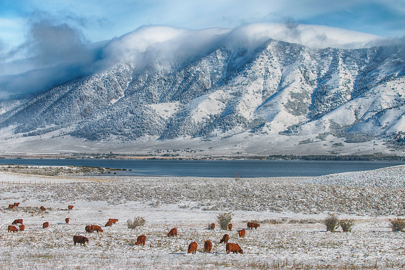 Cows and Henry's Lake in Snow