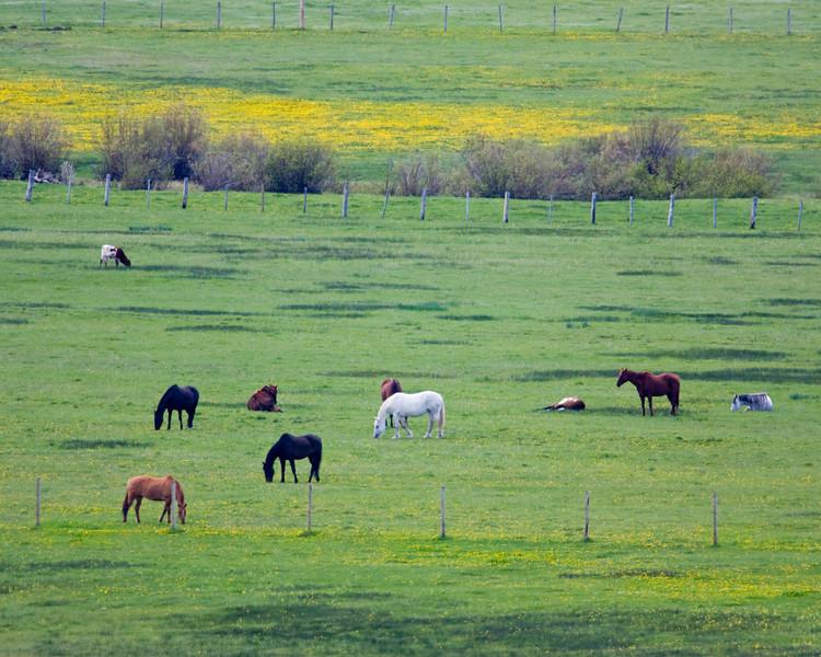 Horses grazing at Meadow Vue Ranch in Centennial Valley near Island Park, Idaho. June 7, 2009