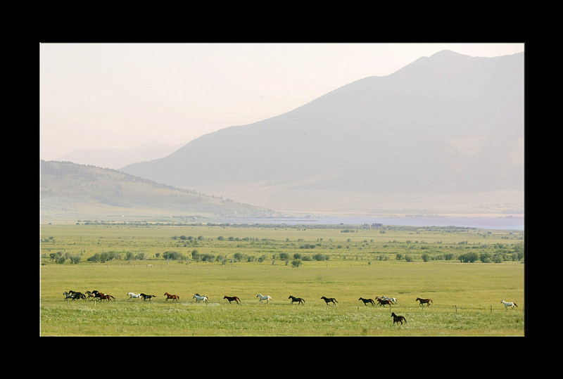 Horses running across pasture near Henry's Lake in Island Park, Idaho. July 26, 2008 Prints with black border as 8 x 12 or 16 x 24