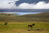 Horse grazing in meadow with Henry's Lake in background at Meadow Vue Ranch, Island Park, Idaho. Sep 1, 2012