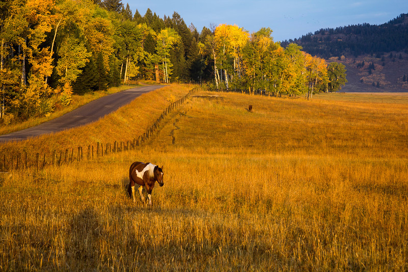 Horses at Meadow Vue Ranch along Red Rock Road in Island Park, Idaho, near Henry's Lake at sunrise. Yellow light from the low angle sun combined with the yellows of the Aspens and grasses to make this magical scene. Sep 25, 2012.