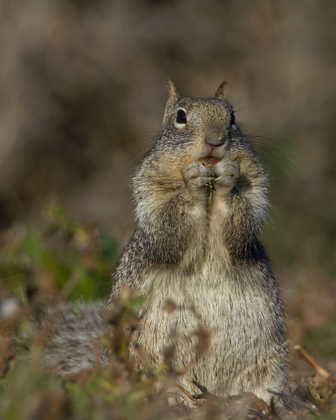 California Ground Squirrel at Sacramento National Wildlife Refuge. Jan 13, 2012.