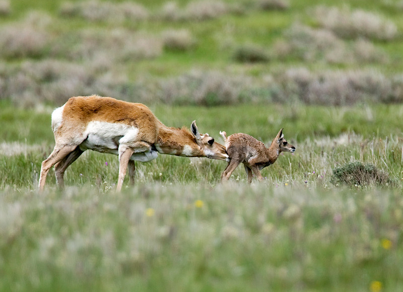 Mother and Juvenile Pronghorn in Red Rock Lakes National Wildlife Refuge, Montana, June 14, 2008. She will stimulate her young to empty their bladder and bowel and will consume the waste. This keeps the young relatively odor-free and safer from predators.