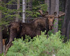 Bull Moose at Idaho/Montana border, Red Rock Pass