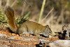 Red Squirrel in Targhee Forest, Island, Park, Idaho, May 7, 2013