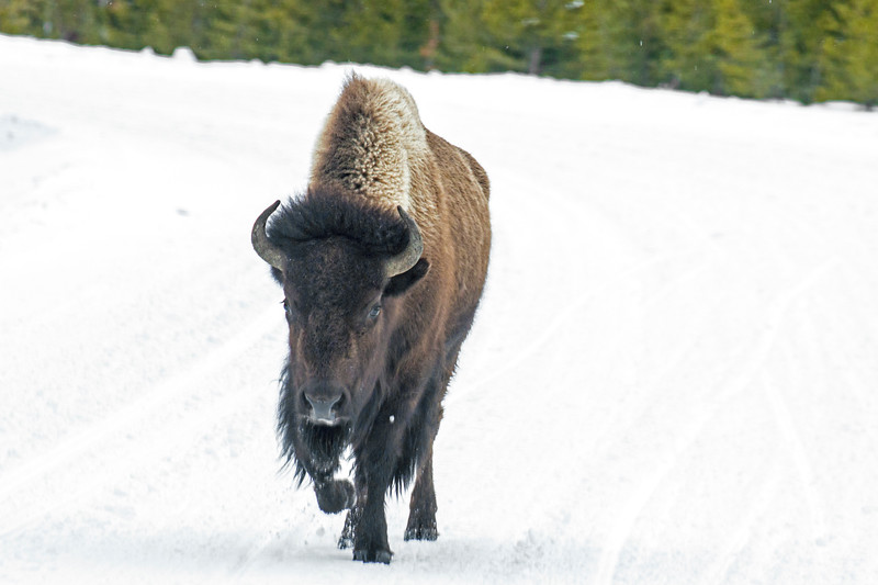 Bison on Road in Yellowstone in snow