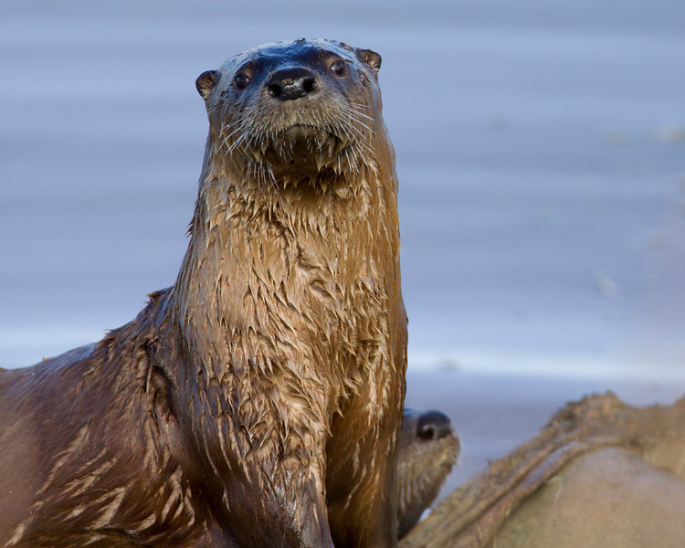 American River Otter at Lower Red Rock Lakes Dam. Sep 24, 2010.
