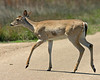 White tailed Deer in Aransas National Wildlife Refuge. Texas