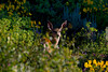 Mule Deer in forest with wildflowers. July 23, 2011, along Red Rock road near Continental Divide in Idaho.