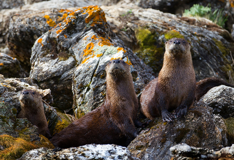 American River Otters