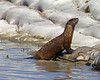 American River Otter on Lower Red Rock dam in Red Rock Lakes National Wildlife Refuge. Sept, 2010. Montana.