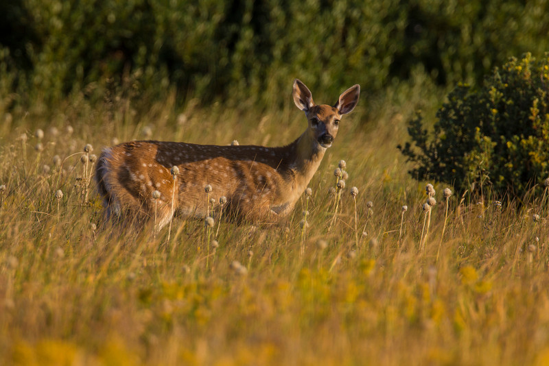 White-tailed deer fawn in Red Rock Lakes National Wildlife Refuge just after sunrise. August 21, 2013. Montana