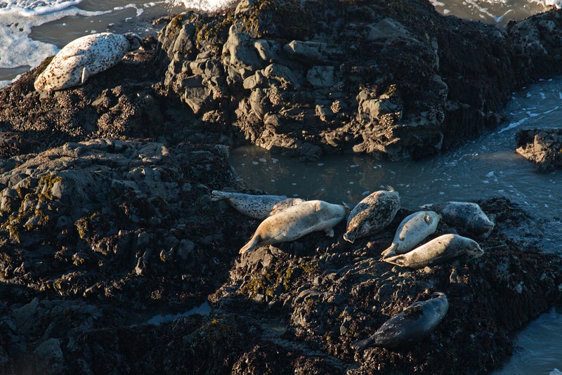 HarborSeals_154908