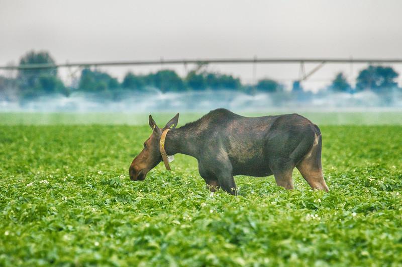 Moose in Potato Field