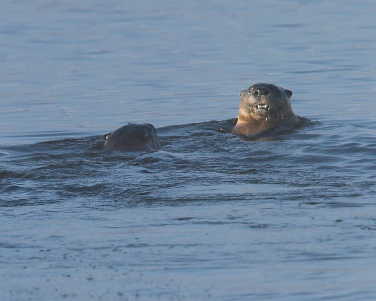 River Otters in Widgeon Pond, Red Rock Lakes National Wildlife Refuge, Montana, Sep 2007.