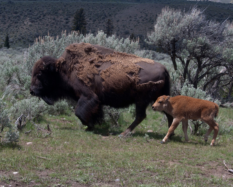 Bison and calf in Lamar Valley, Yellowstone Nat'l Park. June 8, 2010