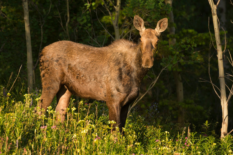 Female Moose at sunrise