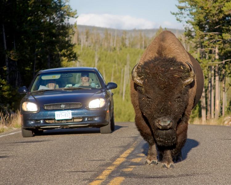 Bison vs Car