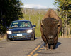 Bison vs Car