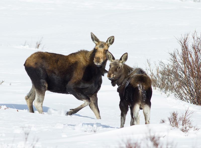Moose in Winter, RRLNWR