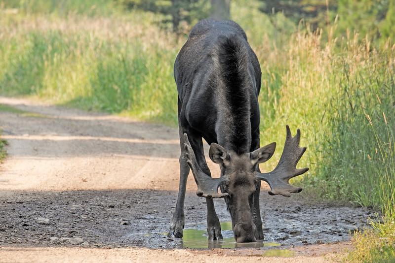 Bull Moose drinking from mud puddle. Island Park, Idaho