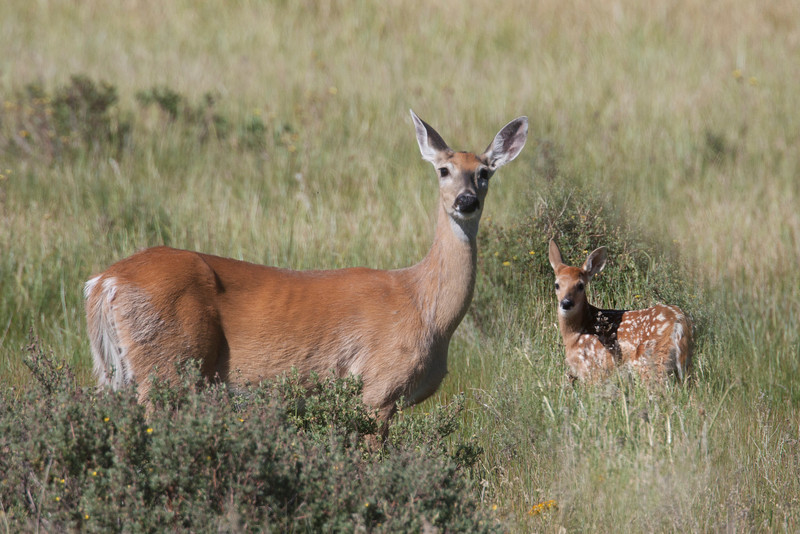 White-tail deer and fawn along South Centennial Road near Red Rock Lakes National Wildlife Refuge in Montana, July 3, 2012.