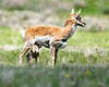 Juvenile Pronghorn feeding in Red Rock Lakes National Wildlife Refuge, Montana. The Pronghorn is the only species in their family, not just genus. June 14, 2008.