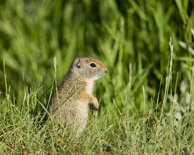 Ground Squirrel at Upper Red Rock Lake in Montana's Red Rock Lakes National Wildlife Refuge. June 2007