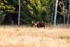 Moose (bull) in Targhee Forest