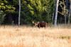 Moose (bull) in Targhee Forest