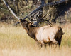 Mature Male Elk bellowing along Madison River in Yellowstone National Park. Sep 15, 2008